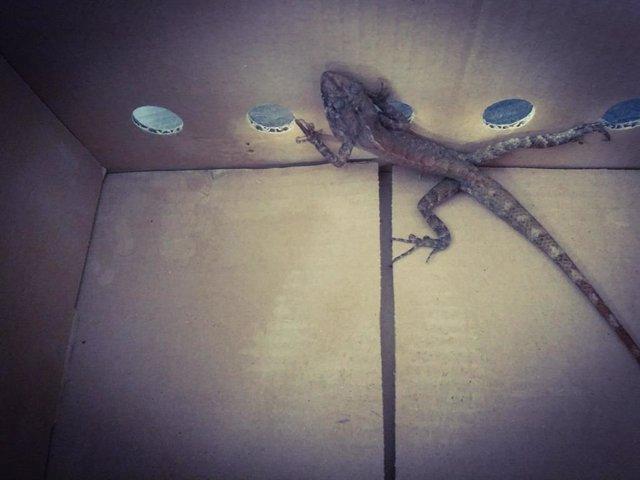 Sucesos.- Agentes forestales rescatan a un lagarto de Tailandia que se encontrab