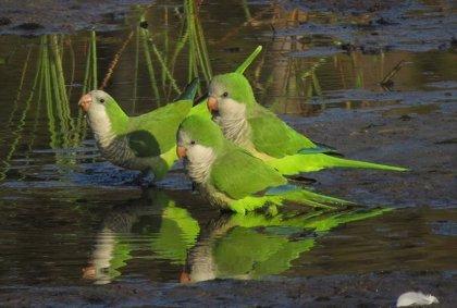"""La """"peligrosidad"""" de las cotorras para la salud pública y fauna endémica"""