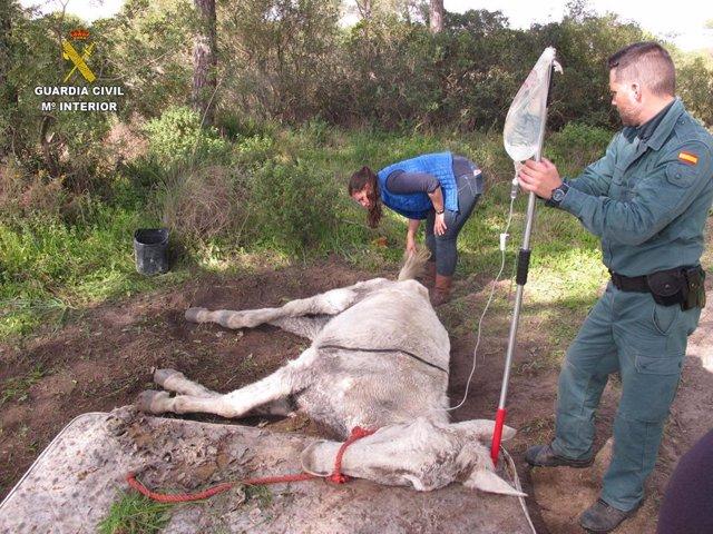 Huelva.-Sucesos.-La Guardia Civil encuentra una mula abandonada que finalmente m