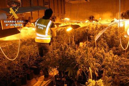 La Guardia Civil incauta de 1.315 plantas de marihuana en Los Cerralbos