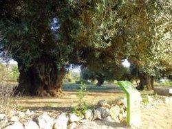 L'espoli d'oliveres mil·lenàries s'accelera al Montsià amb la tramitació de la llei per protegir-les (ACN)