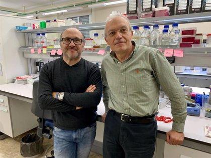 Investigadores describen una nueva función de una proteína implicada en la transcripción genómica