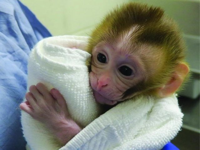 EEUU.- Científicos restauran la fertilidad en un modelo de primate no humano de