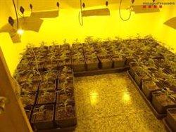 Desmantellada una plantació de marihuana a Torrelles de Llobregat valorada en gairebé 300.000 euros (ACN)