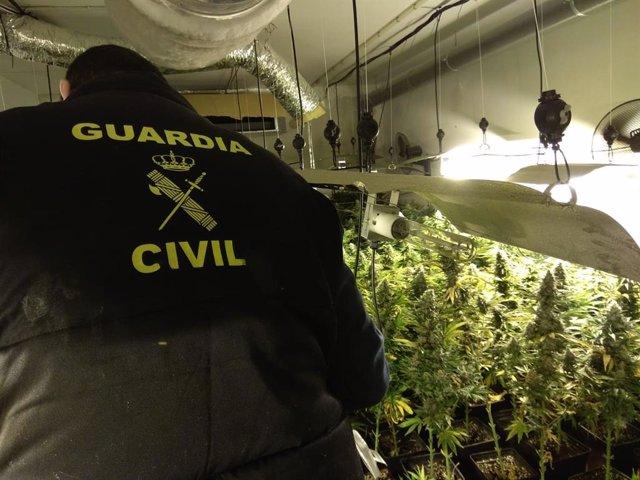 Granada.- Sucesos.- La Guardia Civil interviene 12.865 plantas de cannabis sativ