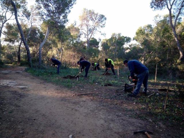 Cort repobla 1.550 árboles y plantas en el bosque de Bellver y 200 en Es Carnatg