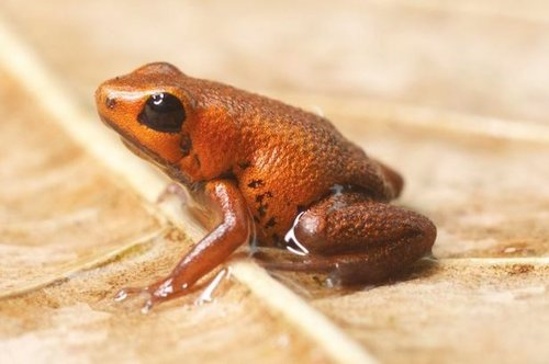 Un hongo está provocando extinciones masivas de anfibios