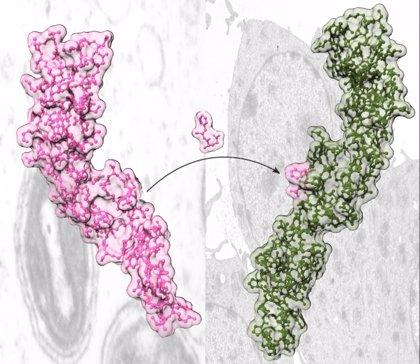 Investigadores del CSIC consiguen reducir los efectos secundarios de un medicamento contra enfermedades autoinmunes