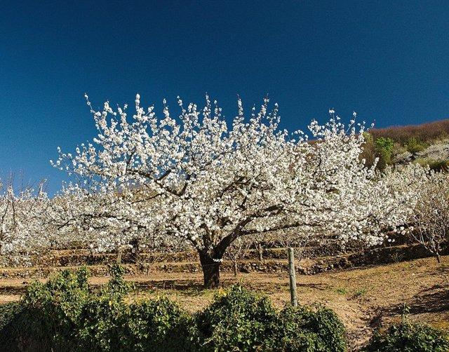 El acto institucional del Cerezo en Flor abre un fin de semana de actividades en