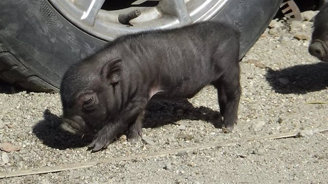 Cachorro de cerdo vietnamita