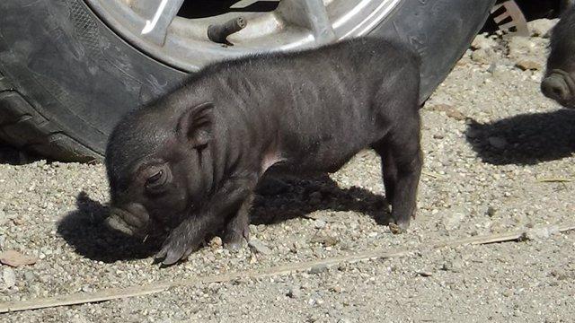 +eptV:Consejo.- Cerdos vietnamitas, pitones, tortugas de Florida y varanos de la