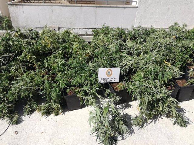 Sevilla.-Sucesos.-Desmantelada una plantación de marihuana 'indoor' en Lebrija e