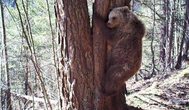 La Generalitat da por muerto al viejo oso Pyros