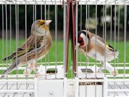 Concurso pájaros cantores