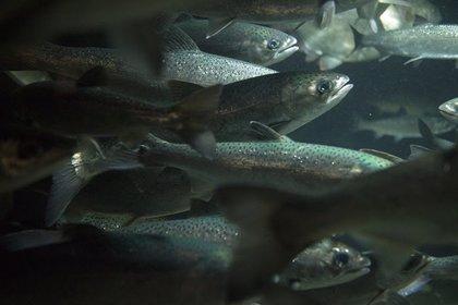 El limo de los peces, una fuente sin explotar de potenciales nuevos antibióticos