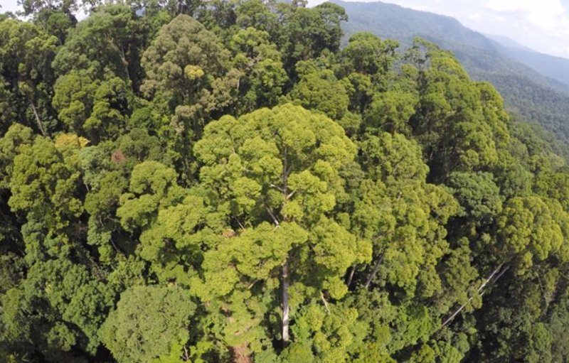 El nuevo árbol tropical más alto del mundo supera los 100
