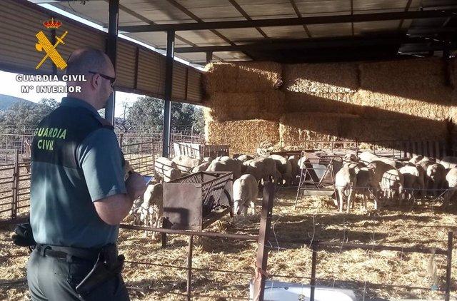 La Guardia Civil esclarece el robo de ganado ovino en Córdoba