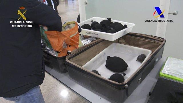 Successos.- Intervingudes 76 tortugues protegides en un equipatge en l'Aeroport