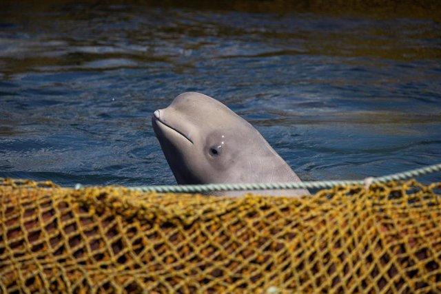 """Rusia promete liberar a casi 100 orcas y belugas de la """"cárcel de las ballenas"""""""
