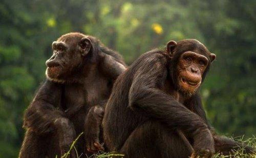 Los machos de primates más vistosos tienen testículos más pequeños