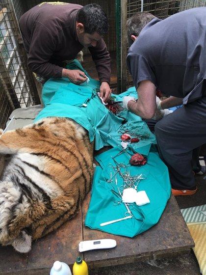 Extraen un tumor a una de las tigresas del Zoológico El Bosque (Oviedo)