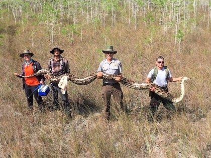 La pitón más grande jamás registrada en Florida: 5 metros y más de 60 kg de peso
