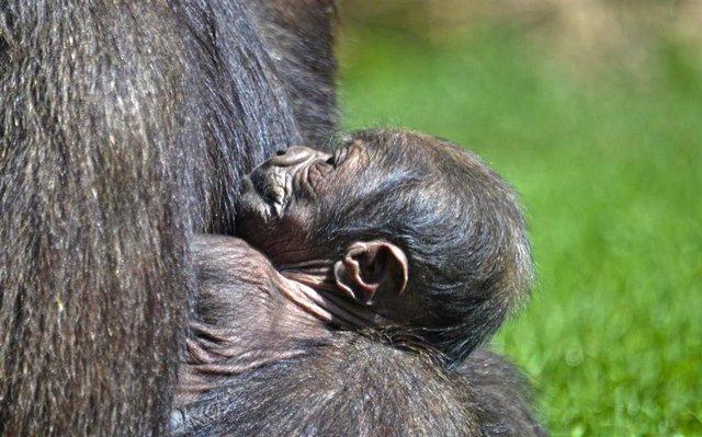 Nace una cría de gorila occidental de costa en Bioparc València, una especie en peligro crítico de extinción