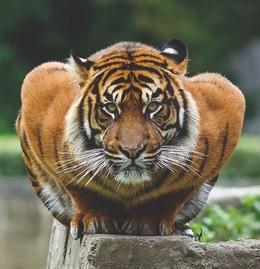 Muere 'Shere Khan', un tigre de bengala del Zoológico de San Juan de Aragón (México)
