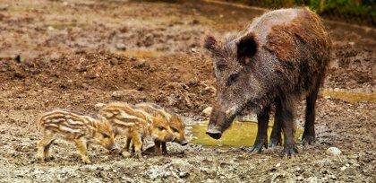 """Ecologistes veuen amb """"gran preocupació"""" recompensar la caça de senglars a Catalunya"""