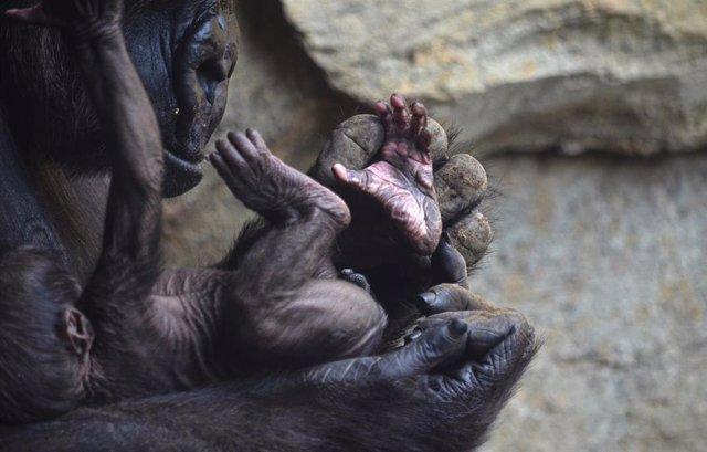 555c600094eb El bebé gorila nacido en Bioparc València cumple una semana y es macho