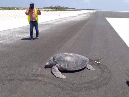 Una tortuga deja sus huevos en una pista de aterrizaje donde antes había una playa