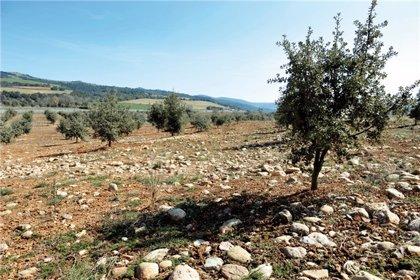 Las ayudas de la Diputación de Huesca al sector de la trufa llegan a más de 60 plantaciones