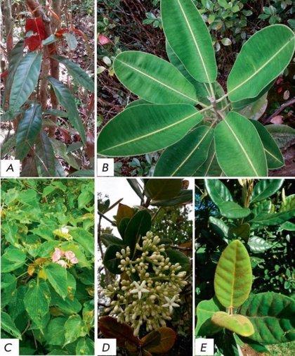 Descubren que unas hierbas medicinales de Mauricio tienen propiedades antitumorales