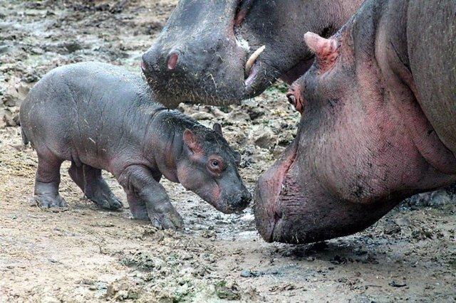 Imagen de la cría de hipopótamo