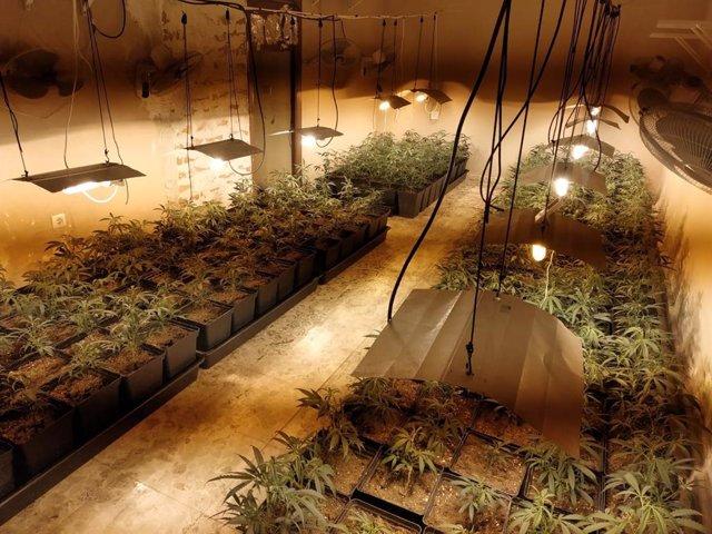 Cádiz.-Sucesos.- Detenido en Jerez por montar una plantación de marihuana en casa de su abuela