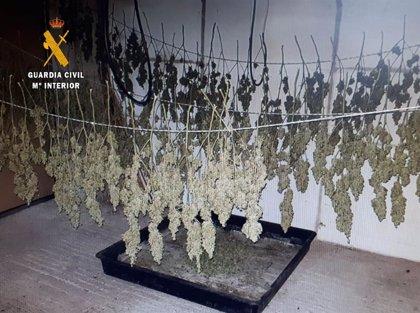 Desmantelada una plantación de marihuana en Ajo con más de 7,5 kilos
