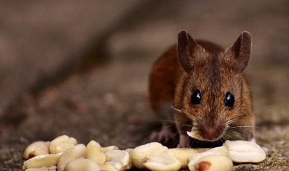 Investigadores 'interrogan' el cerebro de un ratón para averiguar su estado emocional