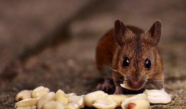 Ratón comiendo cacahuetes