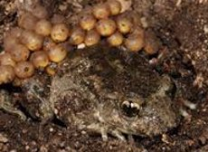 Un estudi comprova que els amfibis estan a zones més altes de les muntanyes que el segle XX (CSIC)