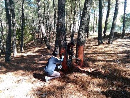 La Junta de Extremadura autoriza la resinación en cinco matas y más de 13.000 pinos en Caminomorisco (Cáceres)