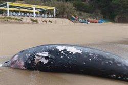 La balena de Bec de Cuvier localitzada a Tossa de Mar va morir envestida per un vaixell (ACN)