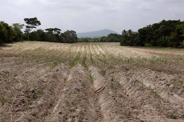 Plantación de azúcar afectada por la sequía en El Salvador