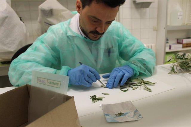 Un investigador treballa amb una mostra per detectar 'Xylella fastidiosa'