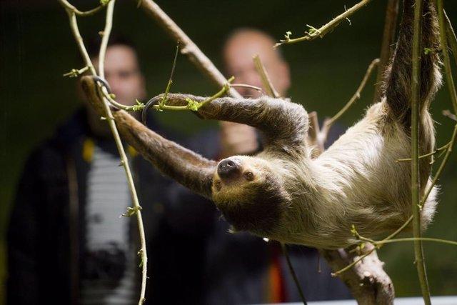 Granada.- Nace una cría de perezoso en el Biodomo del Parque de las Ciencias