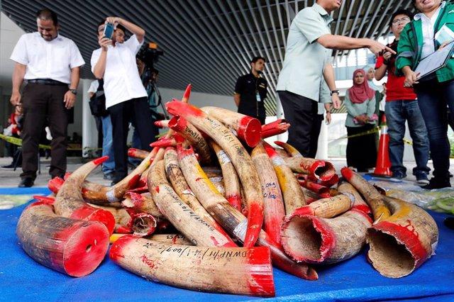 Malasia.- Malasia destruye casi cuatro toneladas de marfil incautado