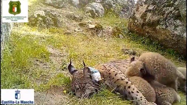 Nacen cuatro nuevas crías de lince ibérico en los Montes de Toledo