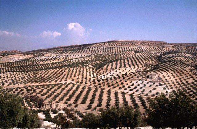 La producción de aceite de oliva en España registra récord con 1,7 millones de toneladas en el ecuador de la campaña