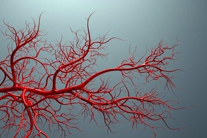 Identifican un nuevo mecanismo que puede ayudar a la formación de vasos sanguíneos