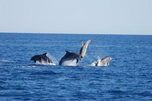 ANSE evalúa la interacción entre delfines mulares y pesca en las costas del Sureste y Andalucía