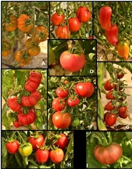 CEBAS y la UMU, a la busca de variedades tradicionales de tomate tolerantes a la salinidad, con mejor sabor y calidad